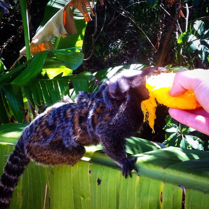 Rio de Janeiro Monkeys – My (Almost) Pets