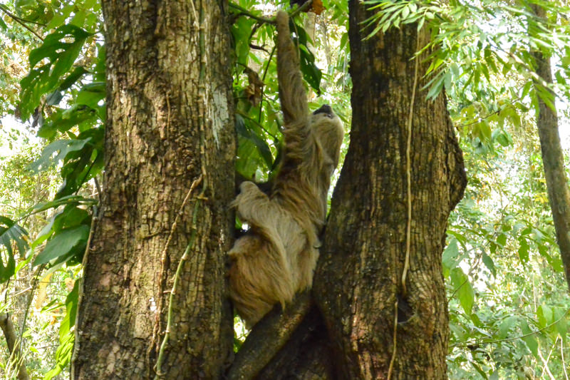 Sloth in Parque Metropolitano Panama City