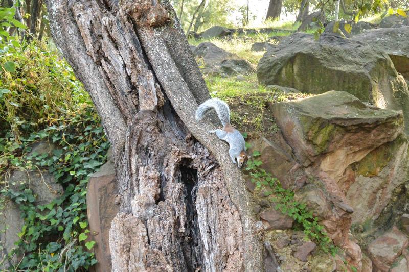 Chapultepec Park Squirrel