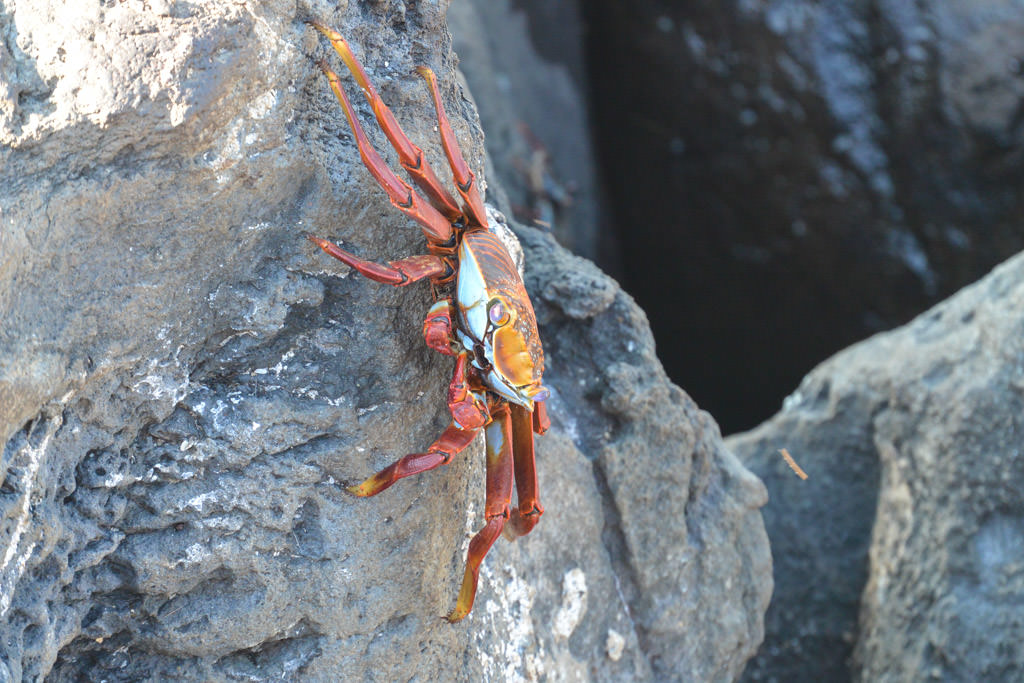 Sally Light Foot Crab Galapagos Island San Cristobal Island