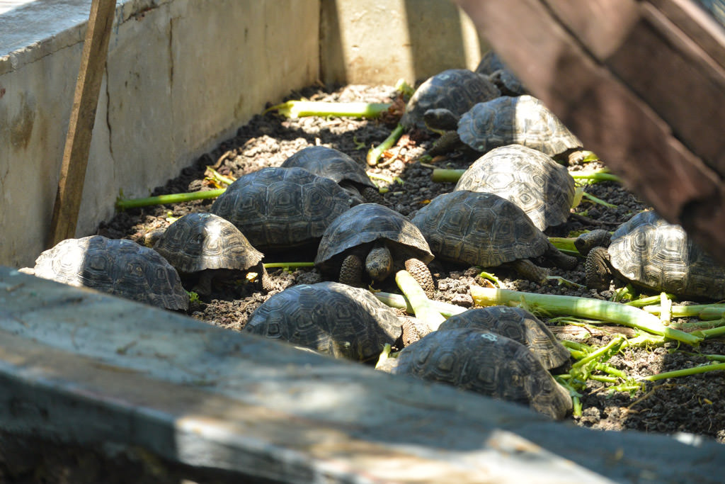 Giant Tortoise Breeding Center Isabela Galapagos Islands