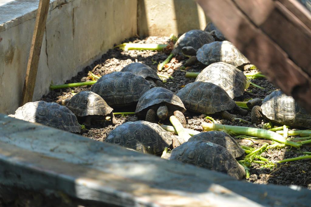 Giant Tortoise Breeding Center Isabela Galapagos Islands
