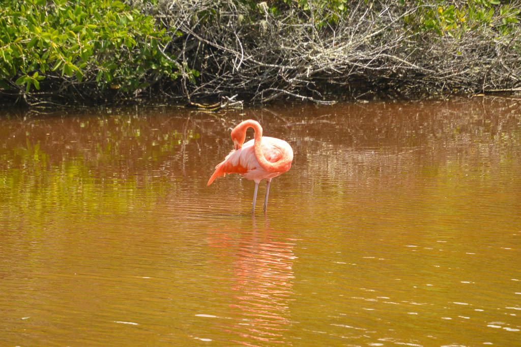 Wild Flamingo Galapagos Islands Isabela Island