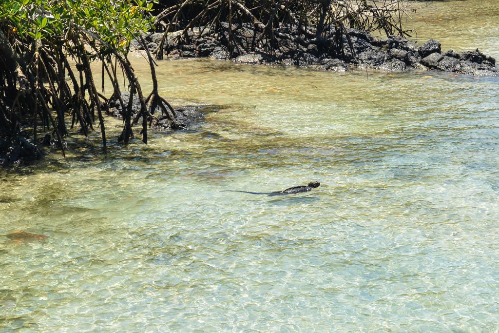 Isabela Galapagos Island Marine Iguana