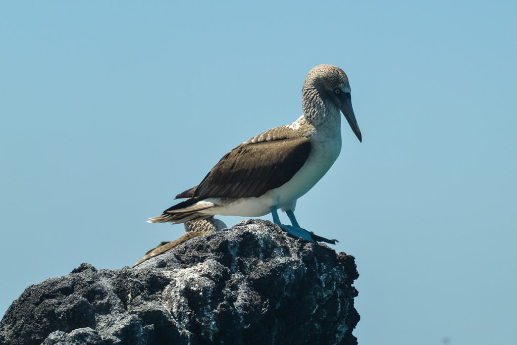 Blue Footed Booby Isabela Island Galapagos