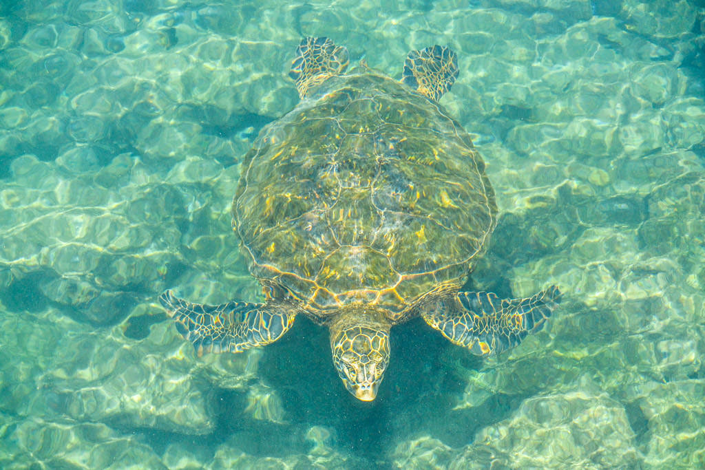 Isabela Sea Turtle Galapagos Island