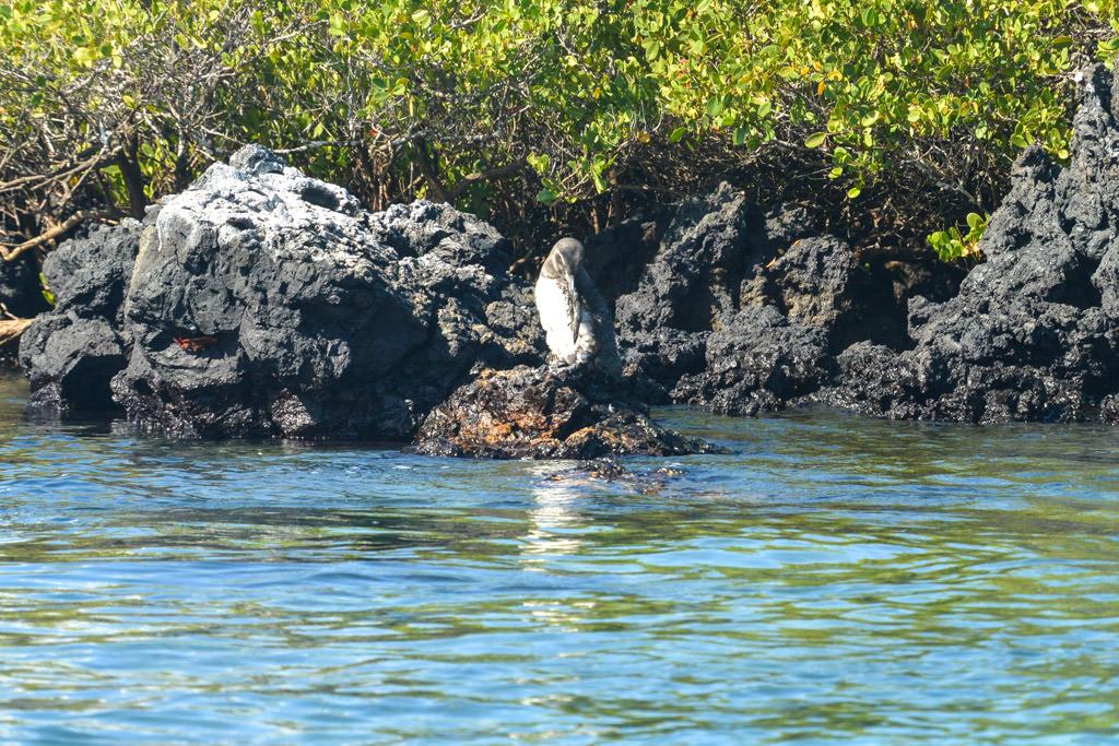 Galapagos Penguins Isabela Island