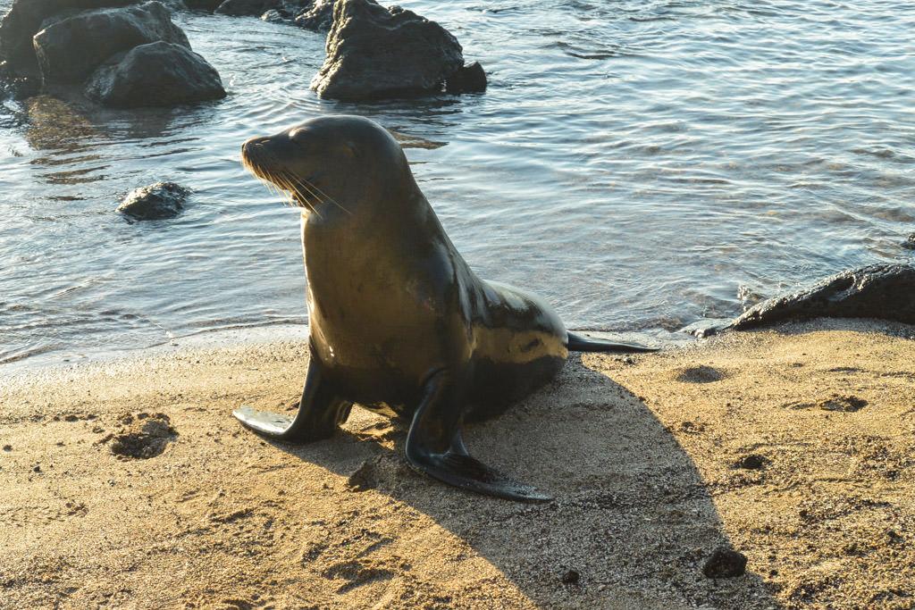 San Christobal Sea Lion Galapagos Islands