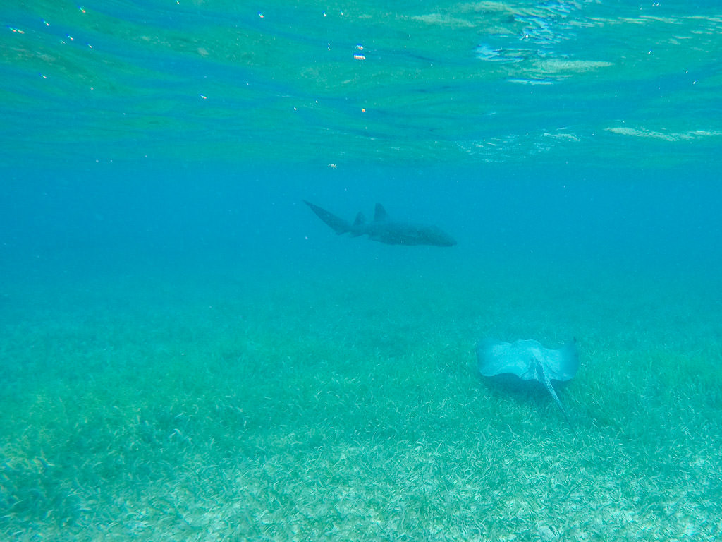 Snorkeling in Belize: Shark Ray Alley Snorkel Site