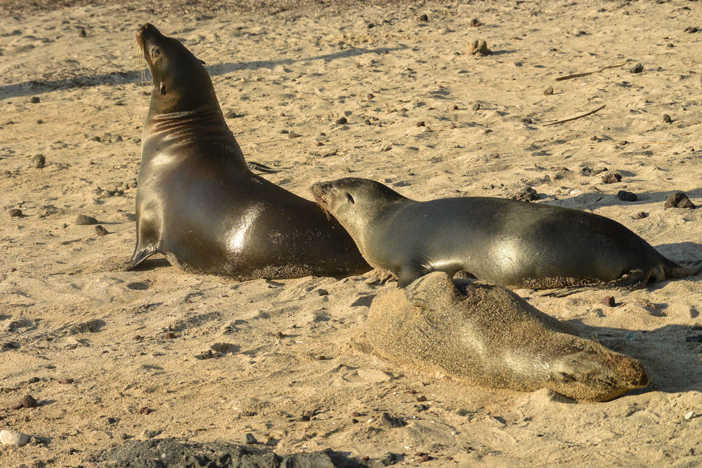 Galapagos Sea Lions in San Cristobal